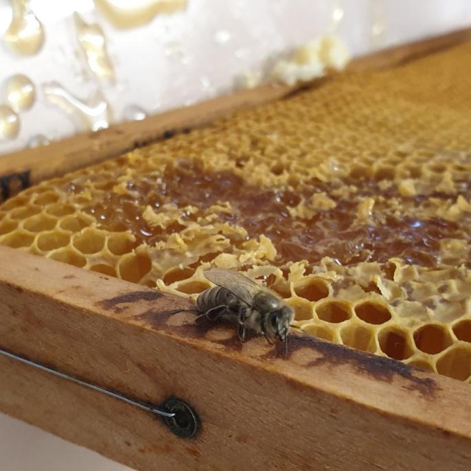Biene sitzt auf einer Wabe