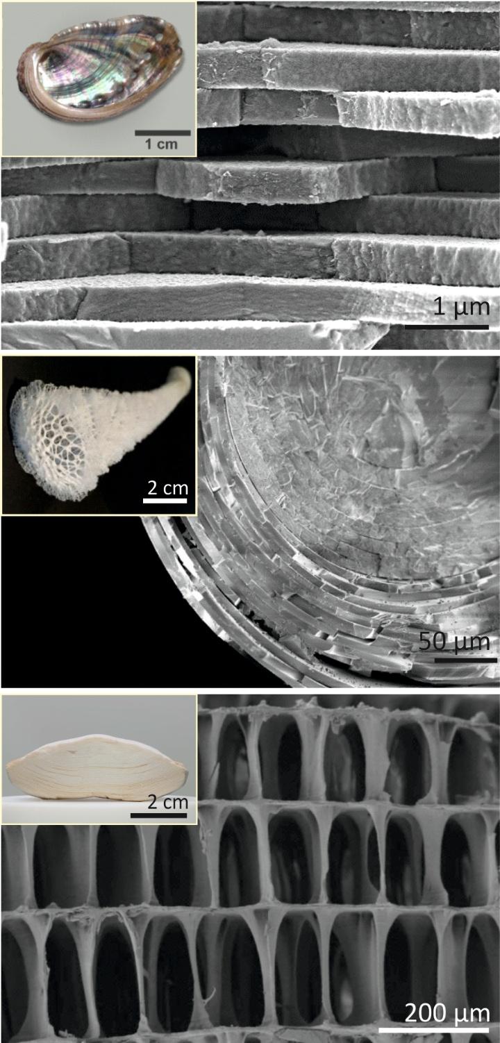 Die drei Vorbilder Perlmutt (oben), Tiefseeschwammnadel (mitte) und Sepia-Schale (unten), sowie deren einzigartigen Mikrostrukturen.  (c)